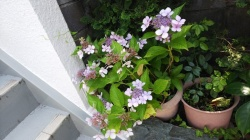 事務所の紫陽花(京都市右京区)