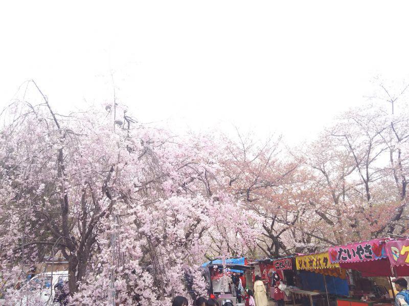 京都の桜どころの写真2